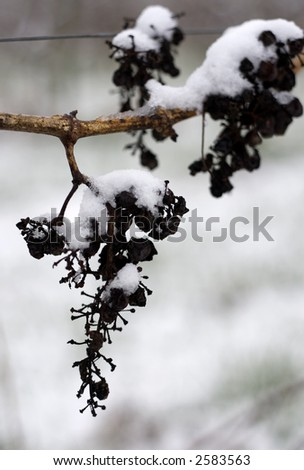 Grapes on the frozen vine