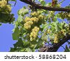 Grapes on the Vine from below - stock photo