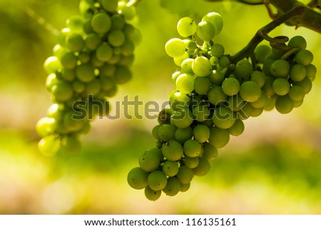 Grapes on the vine in a sunny vineyard - stock photo