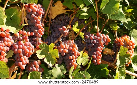 grapes on the vine ready for harvest - stock photo