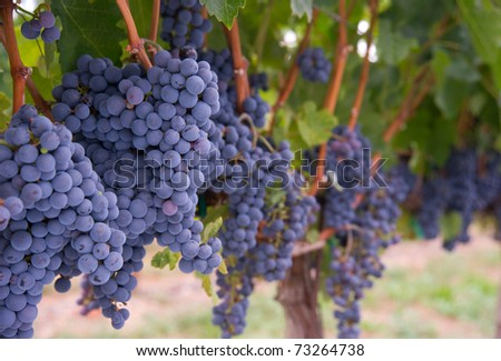 Grapes on the Vine Still in the Farmers Field created by a Master Vintner - stock photo
