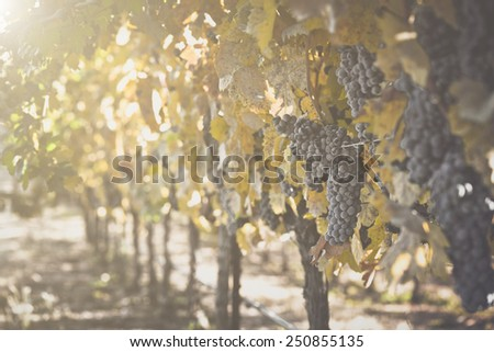 Grapes on the Vine with sunlight - stock photo