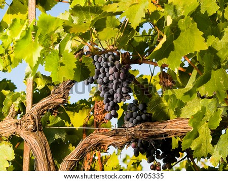 grapes on the wine - stock photo
