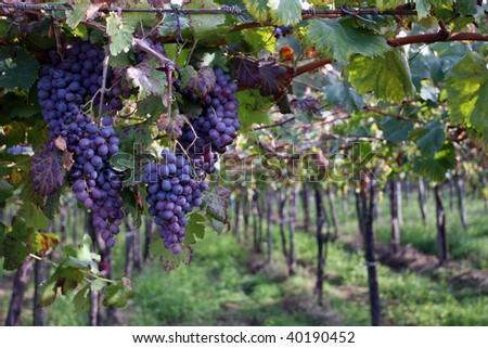 Grapes on vine in vineyard - stock photo
