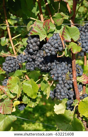 Grapes ready for harvesting - stock photo