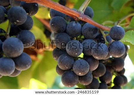 Grapes ripening on the vine - stock photo