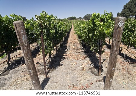 Grapes ripening on the vine at a California vineyard