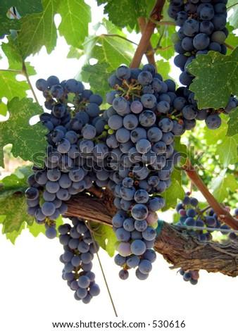 Grapes ripening on the vine, Napa Valley California - stock photo