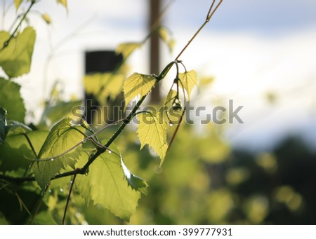 Grapes vine - stock photo
