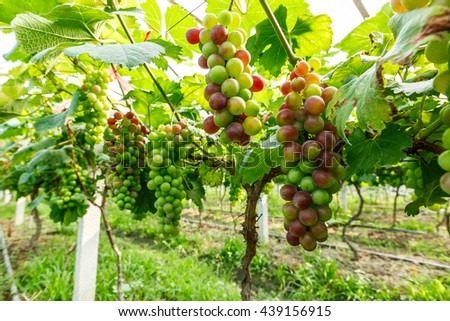 grapes with green leaves on the vine - stock photo