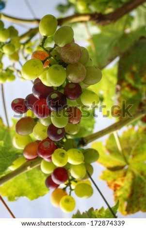 grapes with green leaves on the vine in the vineyard - stock photo