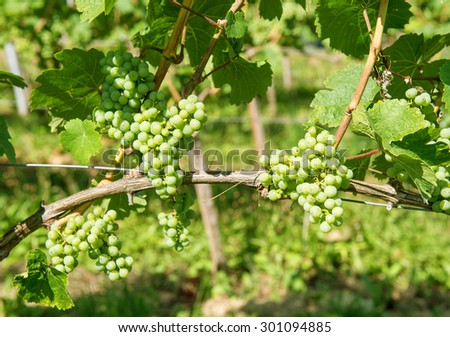 Grapes with green leaves on the vine. Vine grape fruit plants outdoors - stock photo