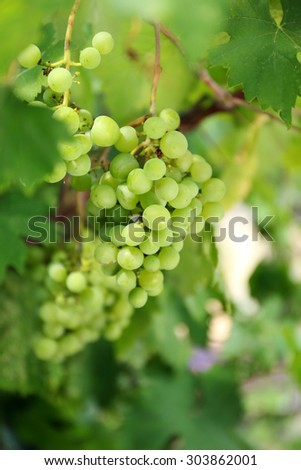 Grapes with green leaves on vine - stock photo