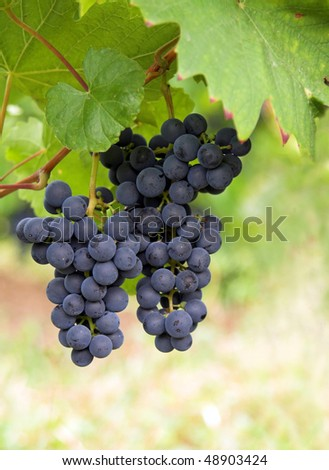 grapevine - stock photo