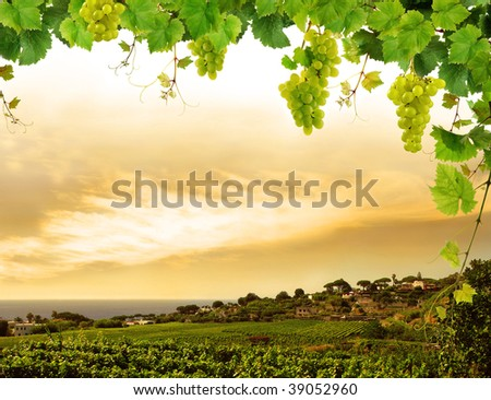 Grapevine and landscape with vineyard - stock photo