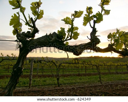 Grapevine at Sunset - stock photo