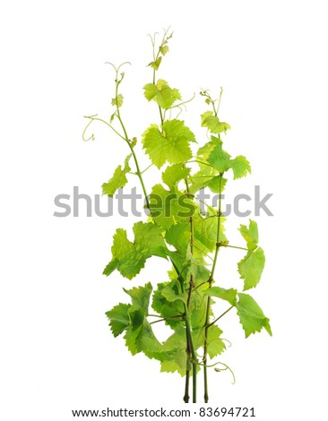 Grapevine branches, isolated on white background - stock photo