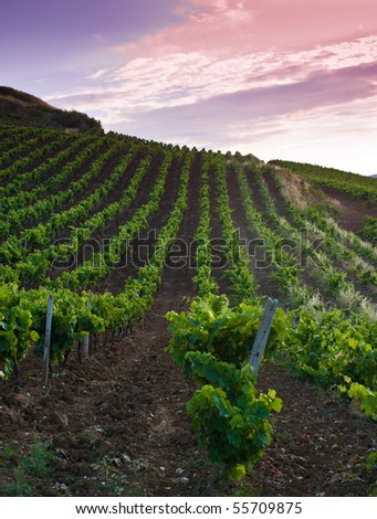 grapevine fields in sicily