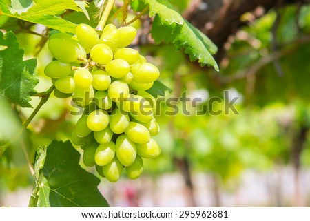 grapevine in  garden  ; selective focus with blur background. - stock photo