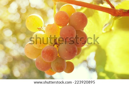 Grapevine in the sun/Grapes on the sparkling rays of the sunset - stock photo