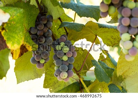Grapevine in vineyard in east Tennessee with colorful grapes growing on it