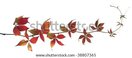 Grapevine isolated - stock photo
