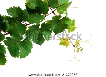 Grapevine, isolated on white background - stock photo