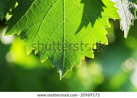 Grapevine leaf detail, macro photo. Shallow DOF. - stock photo