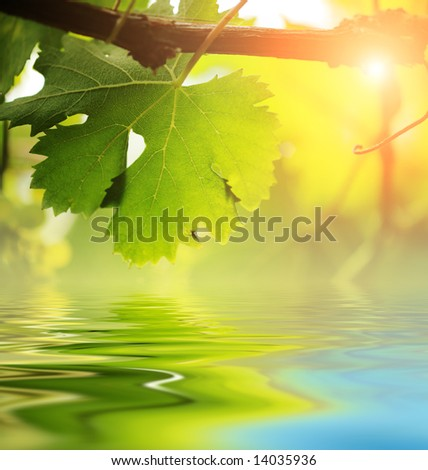 Grapevine leaf over water, close-up. - stock photo