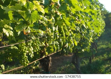 Grapevine loaded with ripe grapes - stock photo