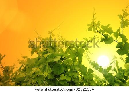 Grapevine plants in Napa Valley, California, USA. Shallow DOF. - stock photo