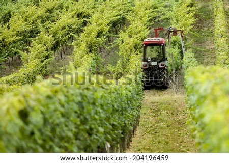 grapevine, Riesling grapes on the Mosel, germany - stock photo