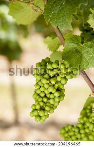 grapevine, Riesling, on the Mosel River in Germany - stock photo