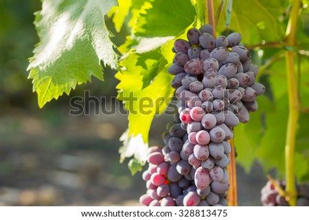 Grapevine with bunches of blue grape and green leaves growing at vineyard. Nature winery background - stock photo