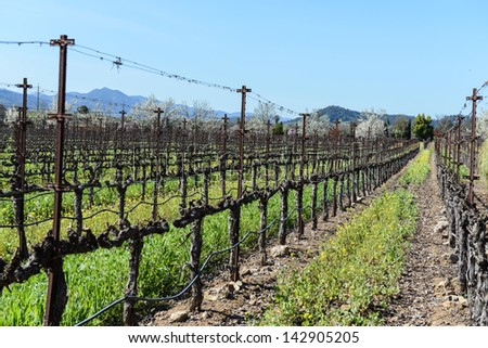 Grapevines in a Row in Napa Valley California - stock photo