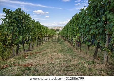 Grapevines in the hills of Tuscany