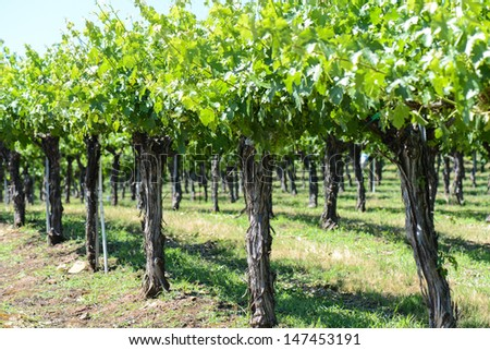 Grapevines in the Spring - stock photo