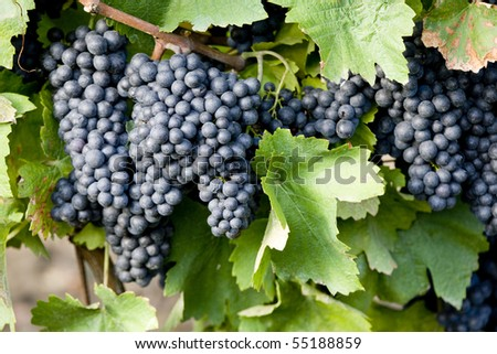grapevines in vineyard, Czech Republic - stock photo