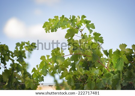 Grapevines near Montemassi in Tuscany, Italy in autumn on a sunny day - stock photo