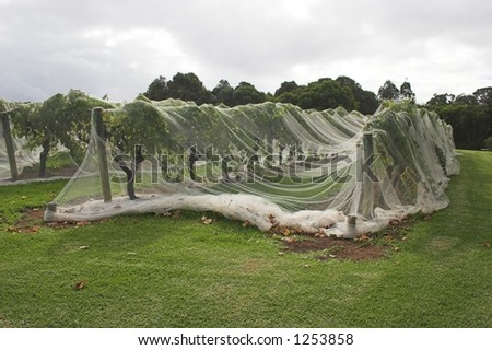 Grapevines under protective netting