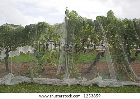 Grapevines under protective netting - stock photo