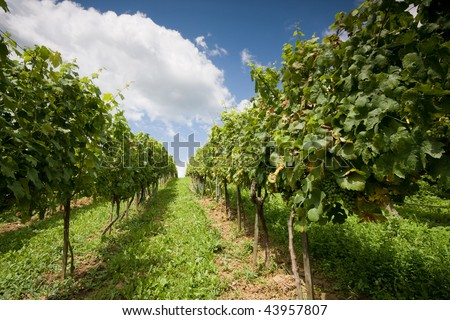 grapevines with beautiful blue sky