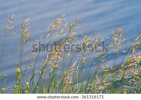 Grass against water.Background.Daylight.Selective focus. - stock photo