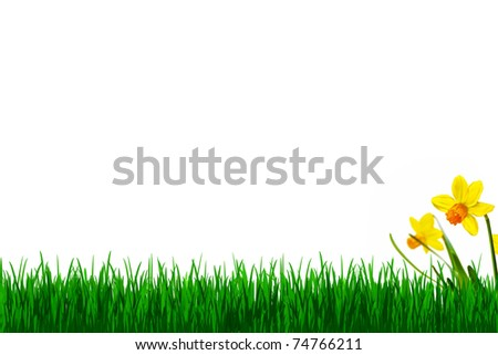 Grass and daffodils isolated on white