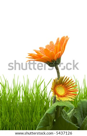 grass and gerber flower isolated on a white background - stock photo