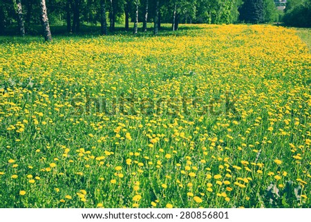 grass and yellow dandelions blooming in the park - stock photo