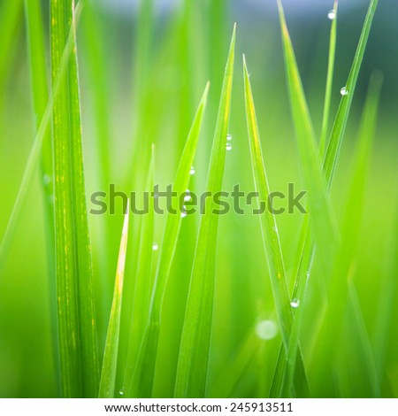Grass-blades with drops of morning dew - stock photo