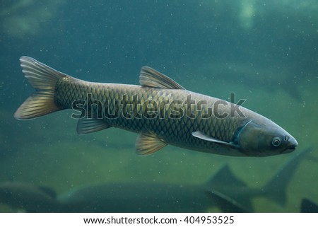 Grass carp (Ctenopharyngodon idella). Wild life animal.  - stock photo
