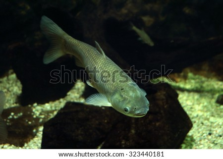 Grass carp, underwater photo in lake. - stock photo
