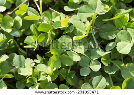 grass clover - stock photo
